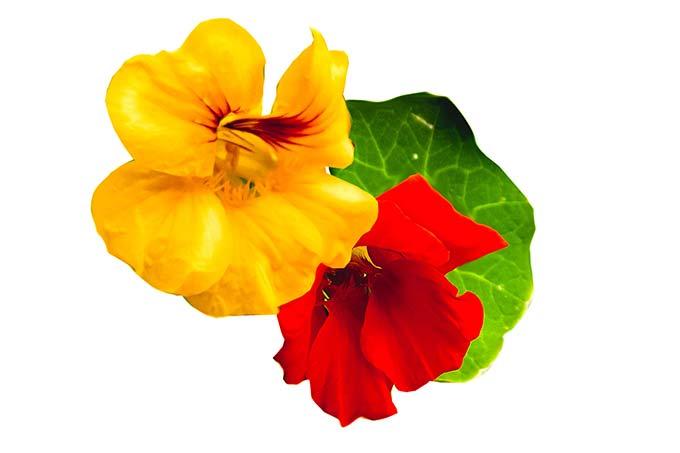 nasturtium flowers and leaf