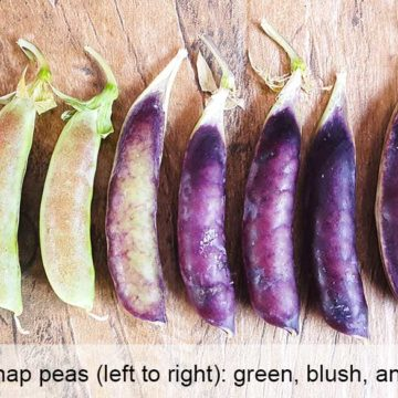 Sugar snap pea varieties, from green to purple