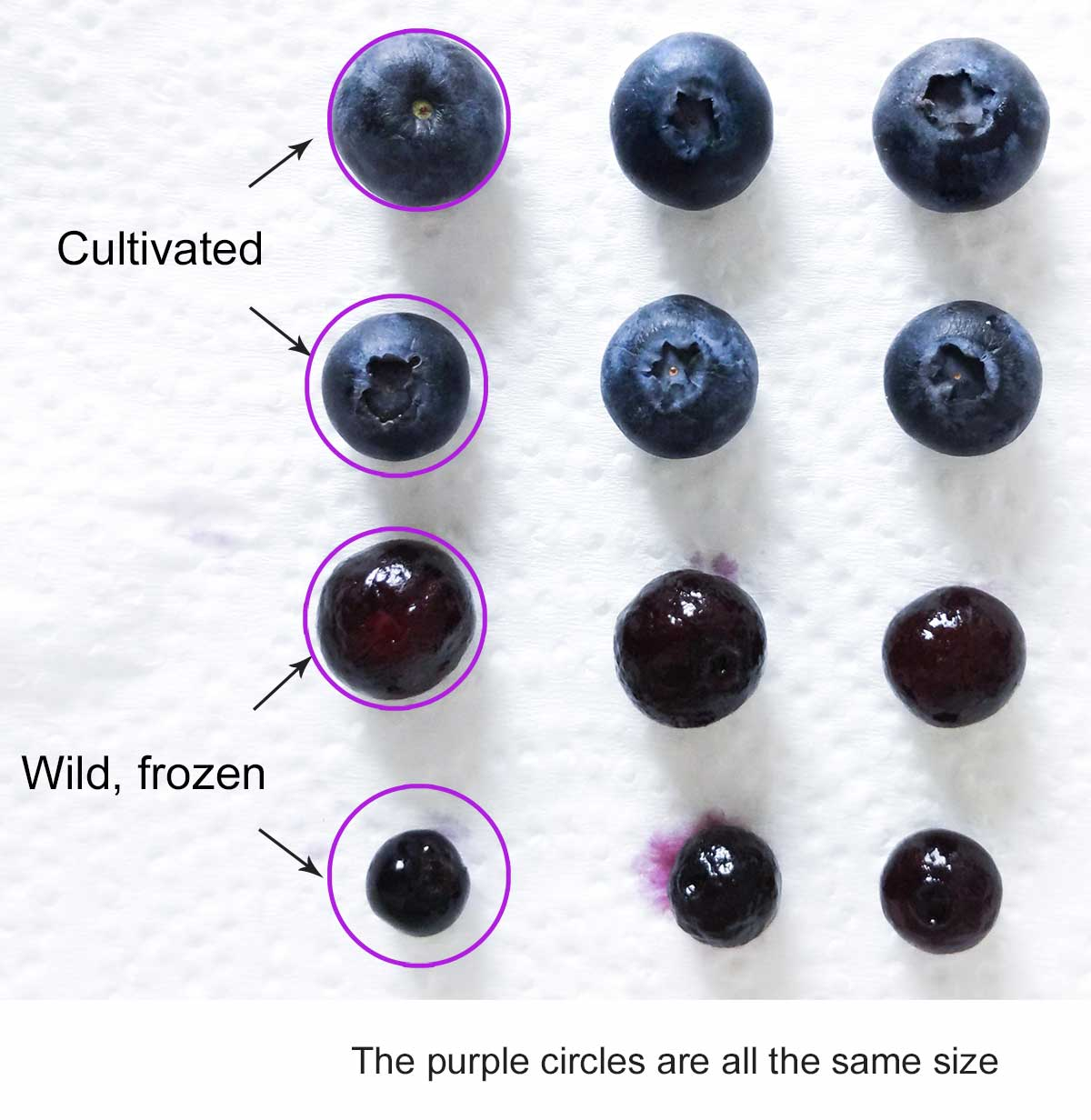 Blueberries lined up by size, the larger ones are twice the size of the smaller ones
