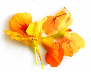yellow and orange nasturtium flowers on a white background