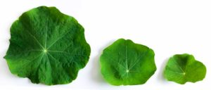 Large, medium, and small nasturtium leaves