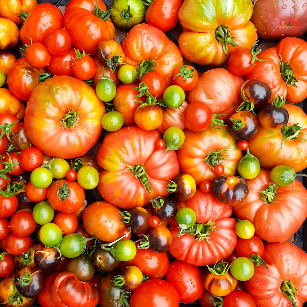 A picture of tomatoes of a variety of sizes and color