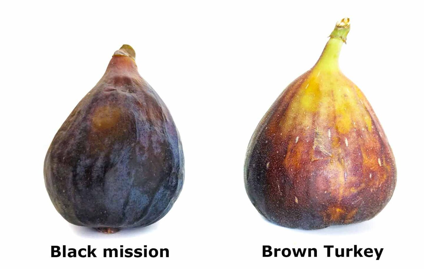 Black mission and Brown Turkey figs, the most commonly available varieties.