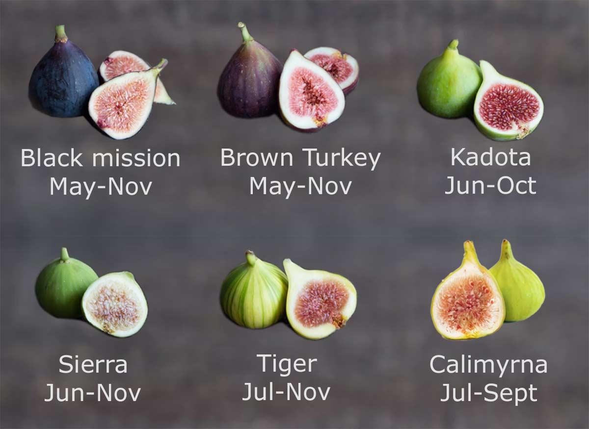 Fig season by type: black mission, brown turkey, kadota, sierra, tiger, calimyrna